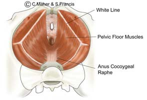 Diagram of a female pelvis indicating the pelvic floor muscles